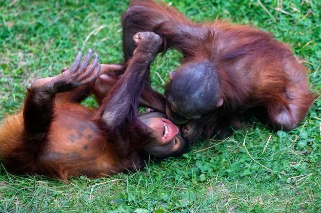 Baby orang-utan oder pongo pygmaeus spielen auf dem gras
