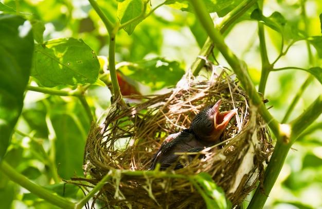 Baby robins in einem nest