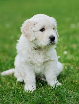 Baby-schäferhund sitzt auf grünem teppich