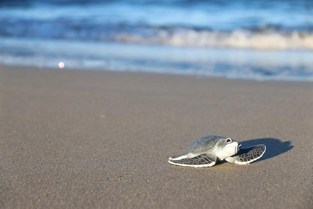 Baby schildkröte am strand
