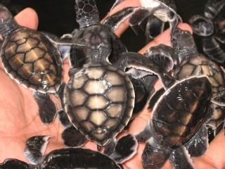 Baby-schildkröten schwimmen