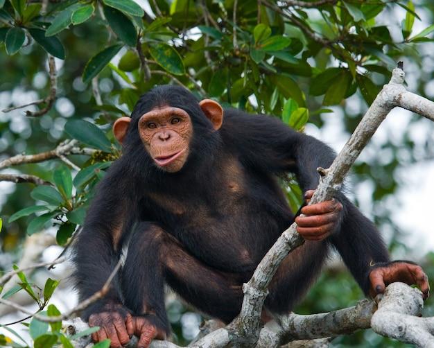 Baby schimpanse auf mangrovenzweigen