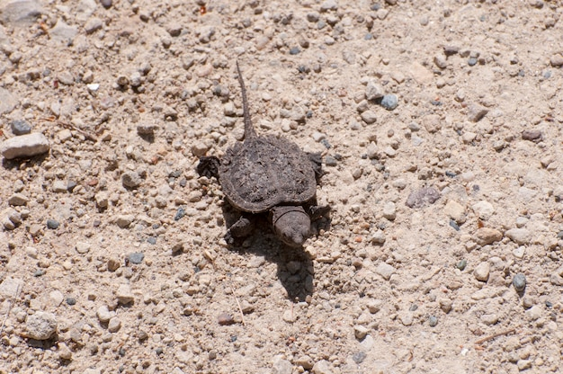 Baby-schnappschildkröte, chelydra serpentina, auf dem weg zum see.