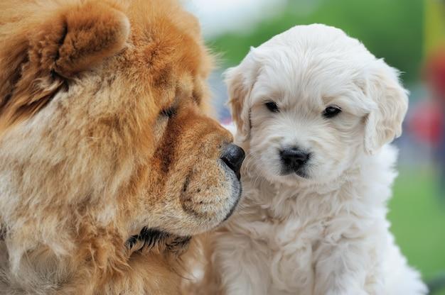Baby schweizer schäferhund und brown chow chow
