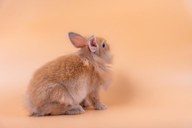 Baby süße kaninchen hat spitze ohren, braunes fell und funkelnde augen.