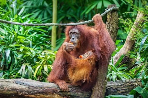 Baby und mutter orang-utan, die früchte essen