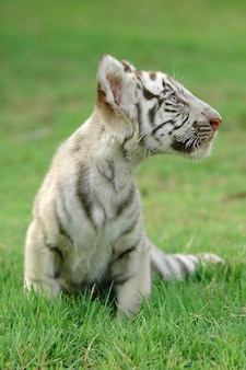 Baby weißer bengal tiger