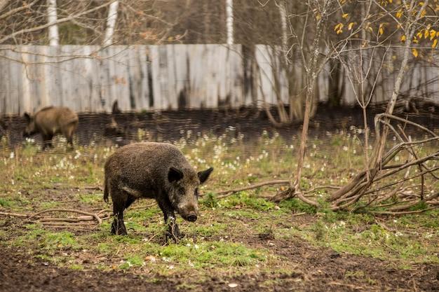 Baby wildschwein frisst grünes blatt
