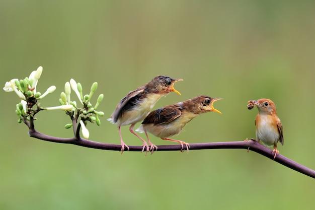 Baby zitting cisticola vogel, der auf nahrung von seiner mutter wartet