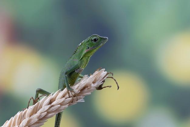 Babygrüne jubata-eidechse, die auf trockenen weizenhalmen klettert