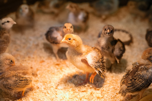 Babyhuhn in der landwirtschaftlichen geflügelfarm. kontaktieren sie den zoo.