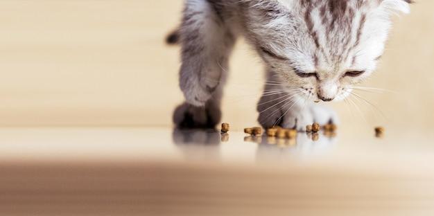 Babykätzchen frisst essen auf dem boden. schottische strite kleine katze. banner mit kopienraum.