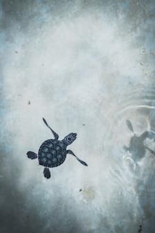 Babyschildkröte, die im kristallklaren wasser schwimmt