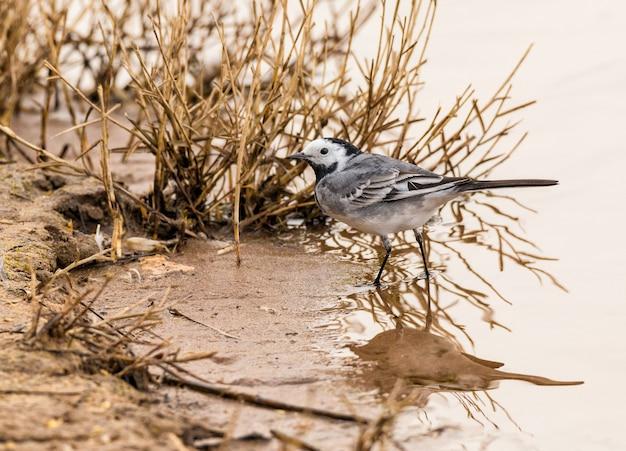 Bachstelze (motacilla alba) ein kleiner singvogel aus der familie der bachstelze motacillidae