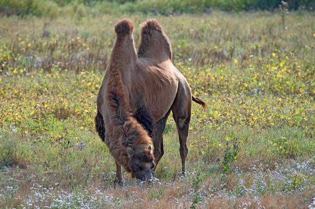 Bactrian kamel oder camelus bactrianus in der steppe