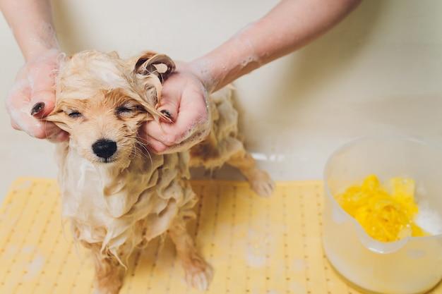 Baden des hundes im pommerschen hundefriseur.