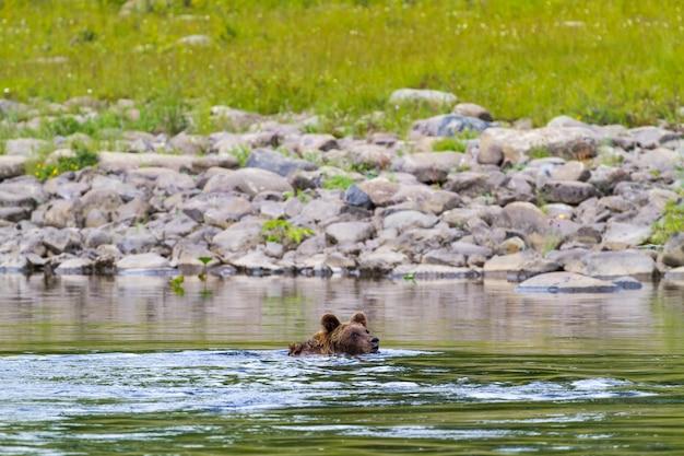 Bär schwimmen auf einem großen fluss. irgendwo in nordsibirien. russland