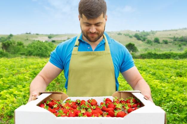 Bärtiger mann von mittlerem alter, der auf einem erdbeergebiet mit einem kasten frischen erdbeeren steht