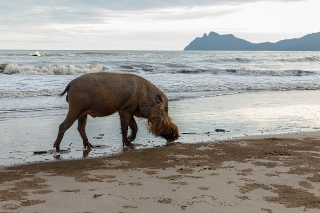 Bärtiges schwein, das entlang den strand geht.