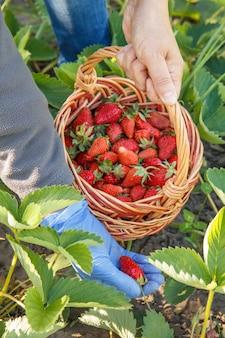 Bäuerin im blauen gummihandschuh pflückt frische rote reife erdbeeren auf dem bett und legt sie in einen weidenkorb. sommerernte von frischen beeren im garten