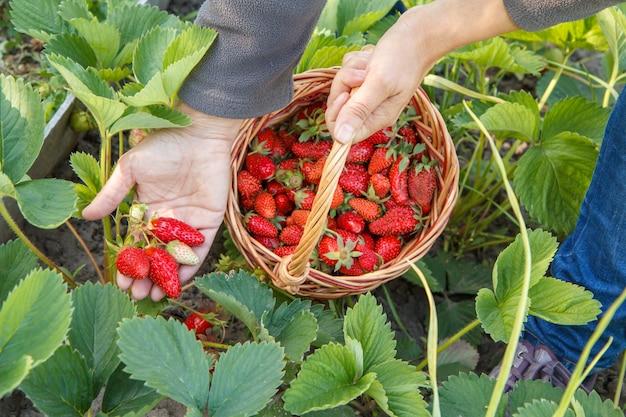 Bäuerin pflückt frische rote reife erdbeeren auf dem bett und legt sie in einen weidenkorb. sommerernte von frischen beeren im garten