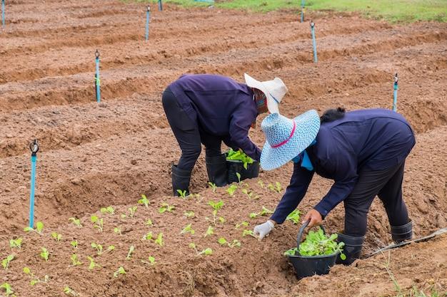 Bäuerinnen pflanzen salat