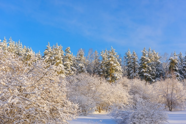Bäume bedeckt mit schnee im sonnenlicht gegen blauen himmel in einem verlassenen park. winterwald mit kopierraum.