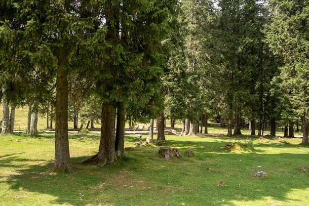 Bäume des waldes in bucegi-bergen, rumänien, frühlingstag