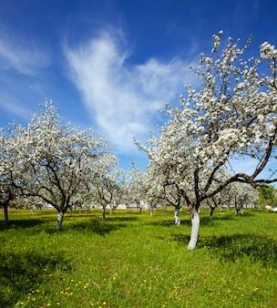 Bäume, die in einem garten während der blüte wachsen. frühling, apfelbaumgarten