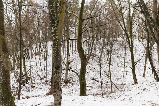 Bäume im wald bedeckt mit schnee nach einem schneesturm, bewölktem wetter und grauem, weißem himmel im hintergrund