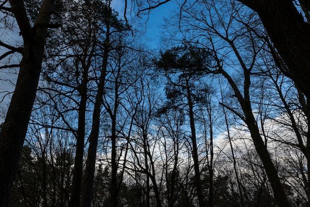 Bäume im wald im winter. fotografiert gegen einen blauen himmel, von hinten beleuchtet.