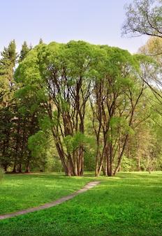 Bäume in einem landschaftsgarten frisches frühlingslaubgras auf dem rasen des arboretums novosibirsk