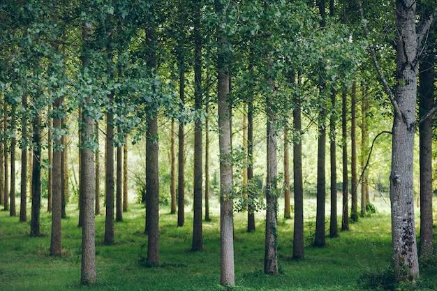 Bäume in einer reihe im wald gepflanzt