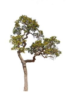 Bäume lokalisiert auf weißen tropischen bäumen in asien.