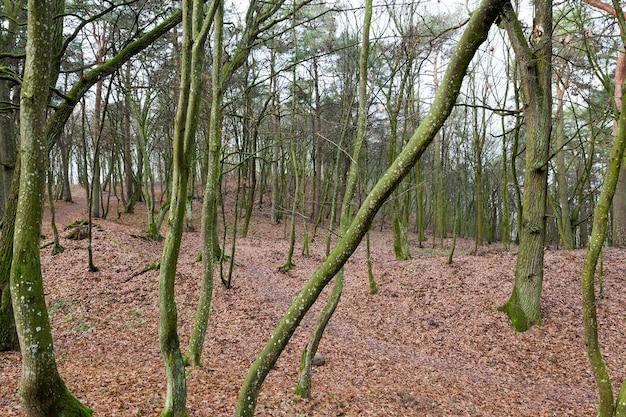 Bäume mit blättern im herbstwald. auf dem boden liegt trockenes laub. fotografierte nahaufnahme.