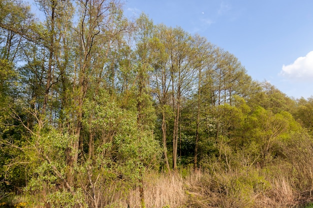 Bäume mit hellgrünem laub