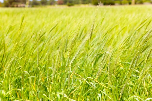 Balearisches grünes weizenfeld in formentera-insel