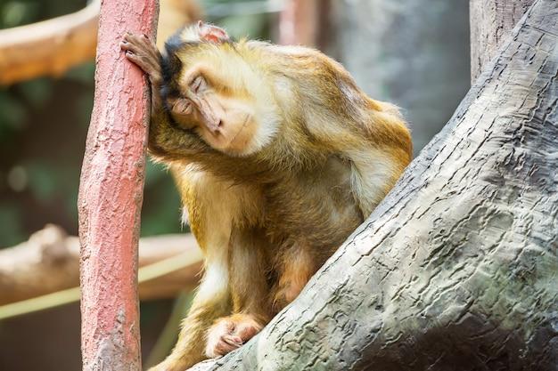Bali-makaken, der auf einer niederlassung sitzt