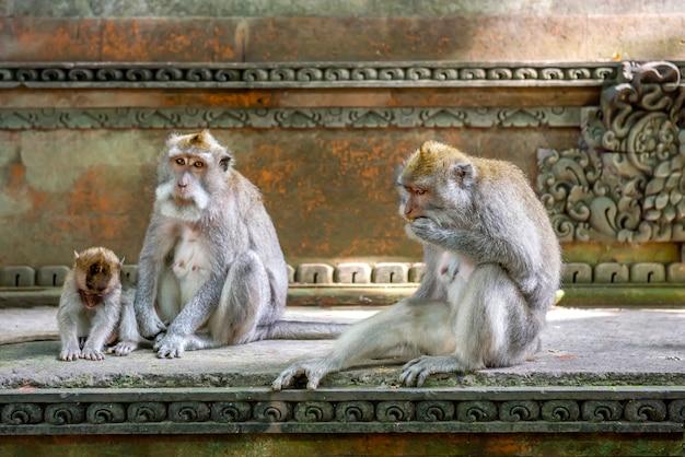 Balinesische langschwanzaffen im heiligtum