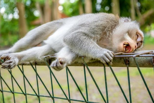Balinesischer langschwanzaffe, der auf dem zaun schläft