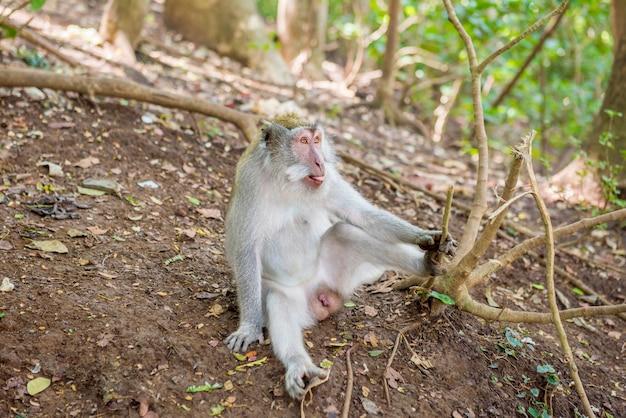 Balinesischer langschwanzaffe in freier wildbahn
