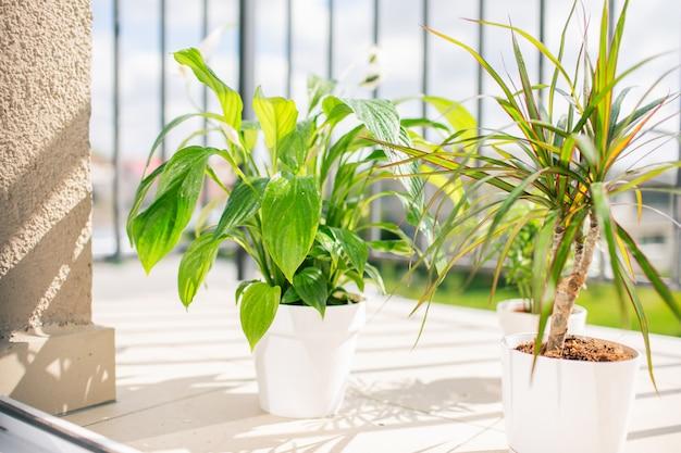 Balkonpflanzen in weißen töpfen am sonnigen tag mit wassertropfen