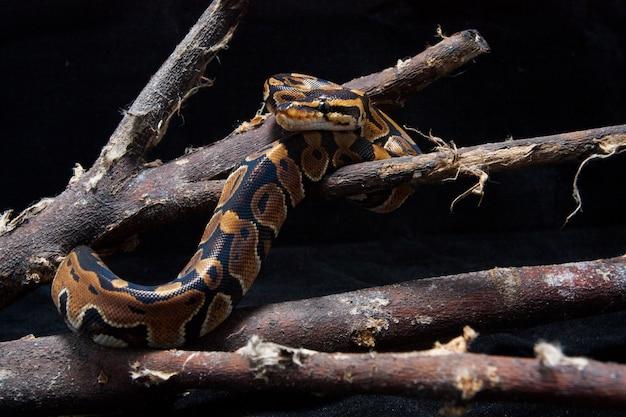 Ball python auf dem ast