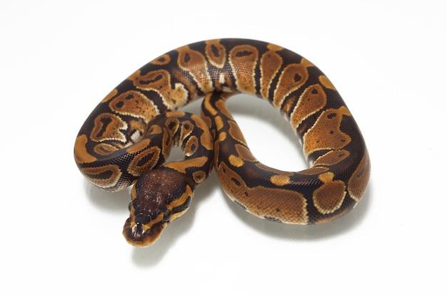 Ball python auf weißem tisch