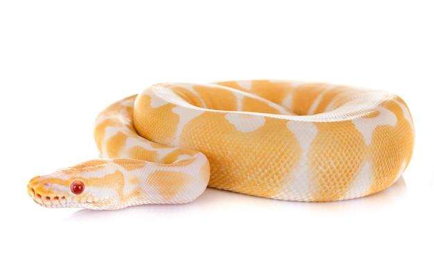 Ball python isoliert