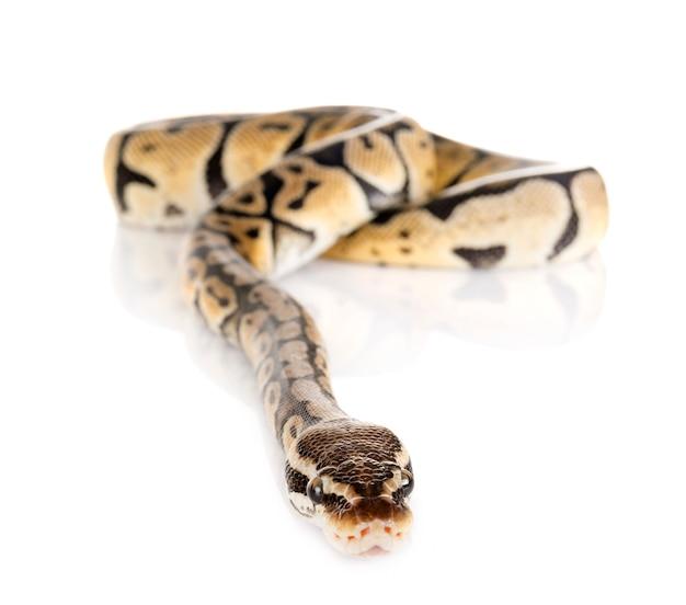Ball pythonschlange