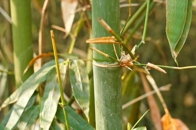 Bambusbäume.