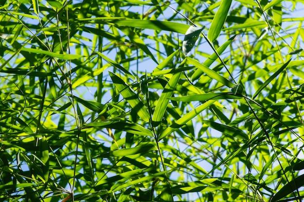 Bambusblätter im flachen fokus und im blauen himmel für natürlichen hintergrund.