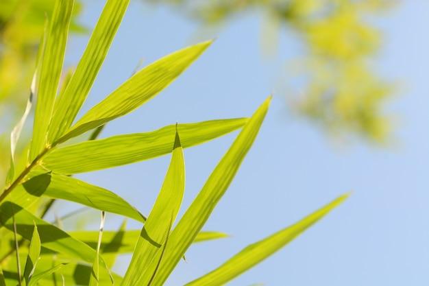 Bambusblattnahaufnahme mit hintergrund des blauen himmels