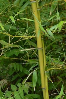 Bambushain, bambus wächst im park.